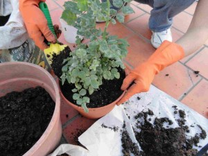 Trasplantar planta