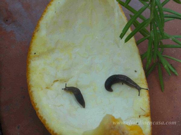 C mo combatir babosas y caracoles el jardin en casa for Caracoles de jardin que comen