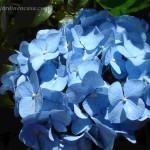 Hortensia celeste