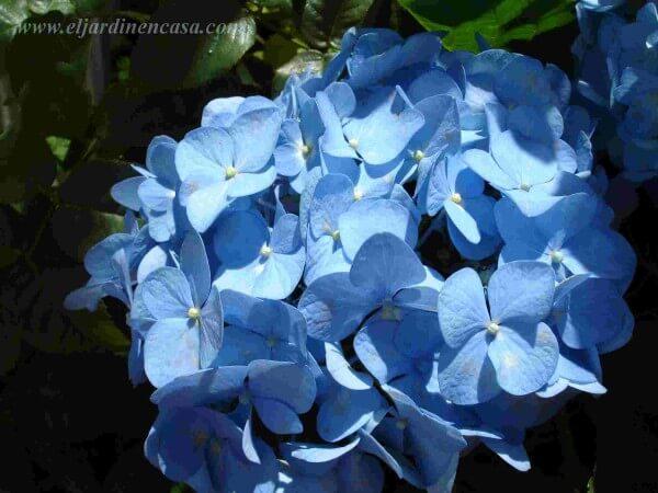 Poda el jardin en casa - Cuando podar las hortensias ...