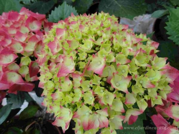 Poda de hortensias el jardin en casa - Como podar la hortensia ...