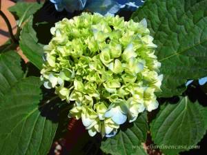 Pimpollos hortensia celeste