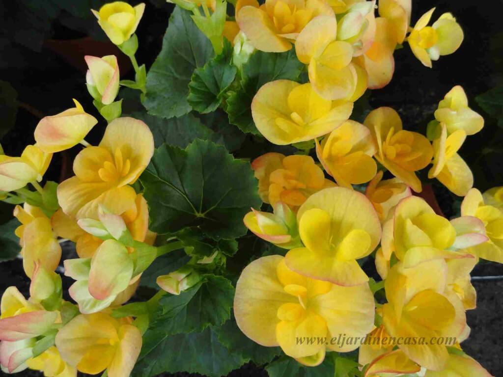 Begonias amarillas