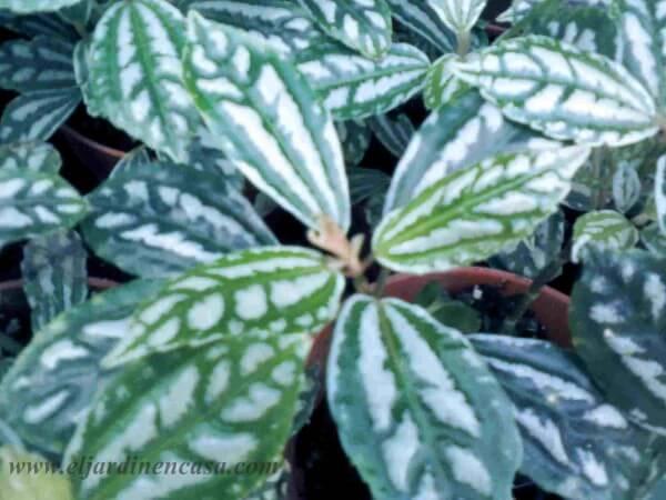 Baños Plantas Para Suerte:gloxinia también herbácea y de rizomas necesita de lugares húmedos