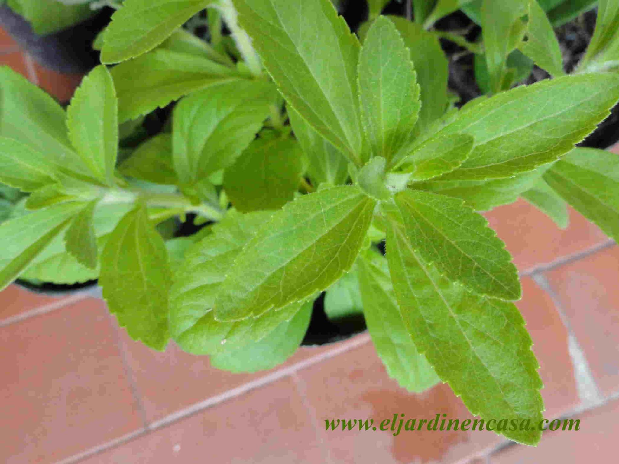 planta stevia