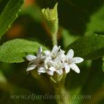Flores stevia hierba dulce