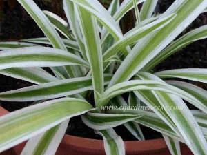 Nomina plantas purificadoras el jardin en casa - Cinta planta ...